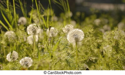 Green weeds and dandelions with see - EDIT 2 VIDEO Green...