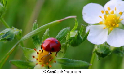 ladybug on wild strawberry flower macro