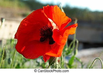 Red poppy - Beautiful red poppy with blue sky background