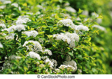 white spiraea - bushes blooming white spiraea in  garden