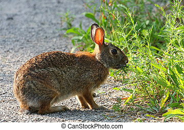 Cottontail Rabbit Sylvilagus feeding in  early morning light