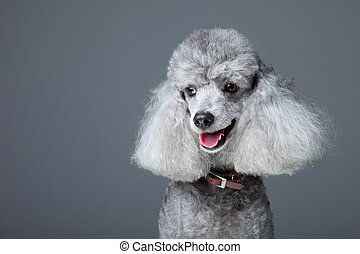 Close-up portrait of obedient smiling small gray poodle with...