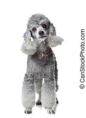 Portrait of obedient small gray poodle with collar standing...