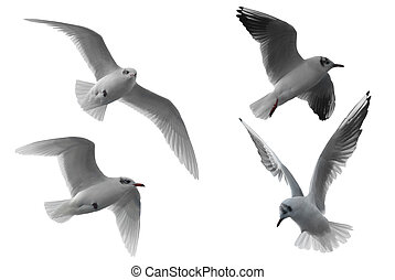 Flying seagull - Four different seagulls isolated on white...