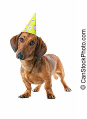 Dachshund - Puppy dachshund With birthday party hat isolated...
