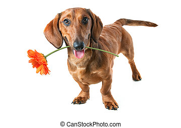 Flower for you - Puppy dachshund holding a flower in its...