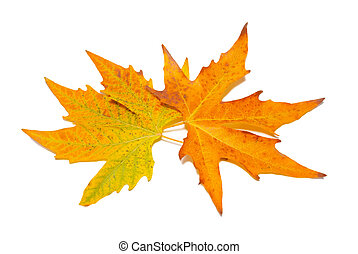 Orange fall maple leaves isolated on white.