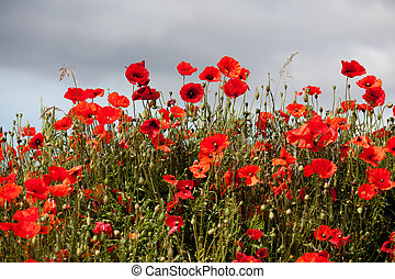 Field of Poppies in Sussex