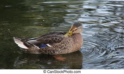 Duck on a river