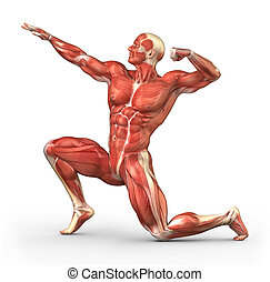 Man muscular system anatomy - Human muscle anatomy