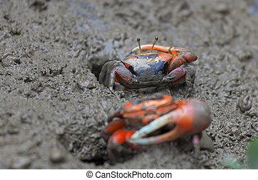 Mud Crab. Mai Po. Hong Kong. - Macro photo of mud crab. Mai...