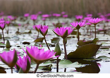 Pink water lily Mai Po Hong Kong - Pink lotuses blooming in...
