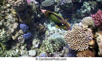Titan triggerfish on coral reef, red sea
