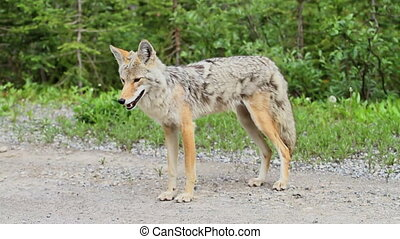 Coyote standing by the road side