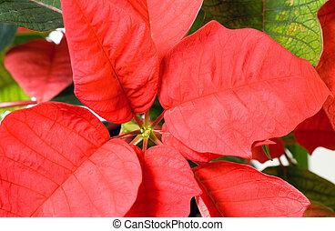 Beautiful red poinsettia plant - Beautiful red poinsettia...