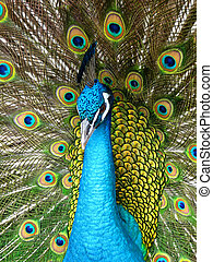 Proud Peacock with Open Wings