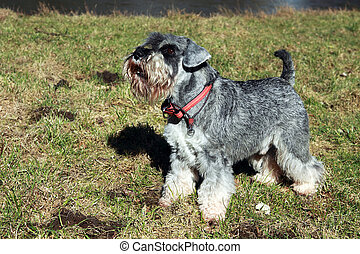 schnauzer outdoor - miniature schnauzer during the training...