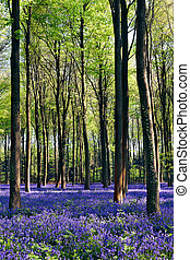Bluebells in Wepham Woods