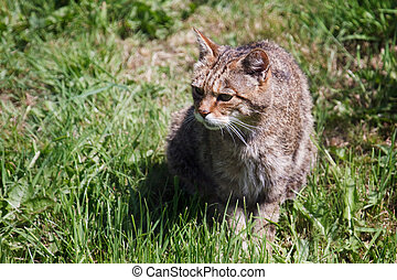 Close-up of an European Wildcat felis silvestris silvestris...