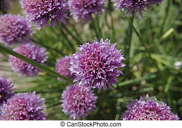 chives - flowering chives