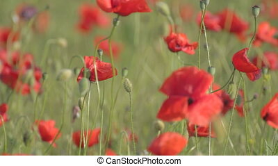 Red poppies field swaying on the wind