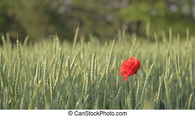 Single red poppy in green wheat fie