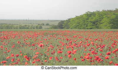 Field of red poppies and rising abo
