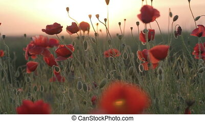 Field of red poppies at sunset on w