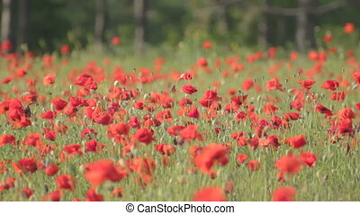 Flowering red poppies swaying