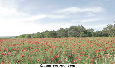 Tableau of red poppies in bloom
