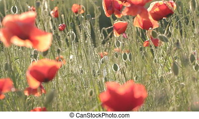 Play of wind with red poppies field