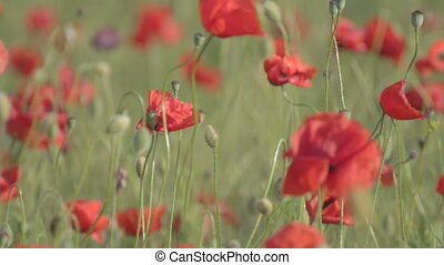 Wind rustling red poppies - Wind rustling flowering red...