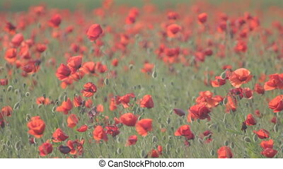 Bulbs of opened red poppies swaying - Bulbs of flowering red...