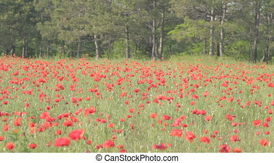 Flowering red poppies swaying on the wind in green grass...