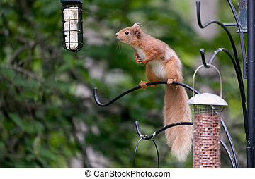 Eurasian Red Squirrel (sciurus vulgaris)_04