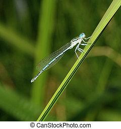 Azure Damselfly Coenagrion puella Blue dragonfly - Azure...