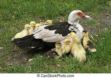 famille, Canards