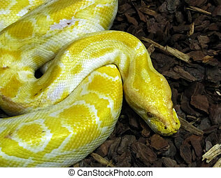 Burmese Python Head - Close-up of head of large yellow and...
