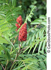 Sumac, Staghorn - Staghorn Sumac is primarily found in the...