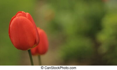Tulips and copyspace - Red spring tulip and room for text or...