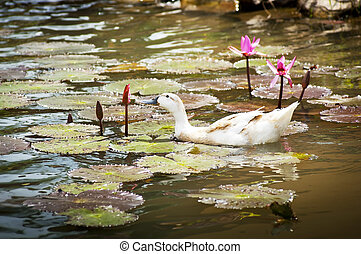 Ducks on Pond - Duck on lilly pond eats a flower