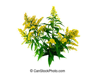 Goldenrod (Solidago) on white background