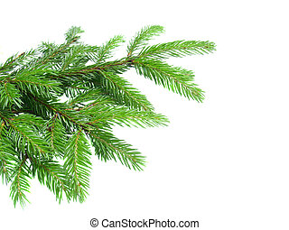fresh green  fir tree branch isolated on white background