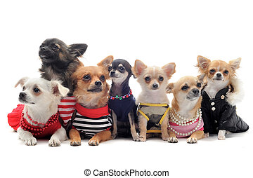 seven chihuahuas - group of chihuahua dressed in front of...