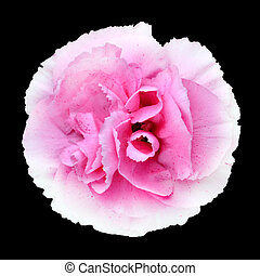 Pink White Carnation Gilly Flower Isolated on Black...