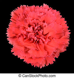 Ruby Red Carnation Gilly Flower Isolated on Black Background