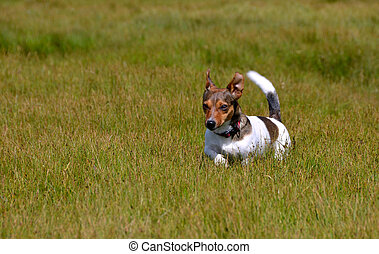 Jack Russell Terrier Running in the Grass Field - Cute Litte...