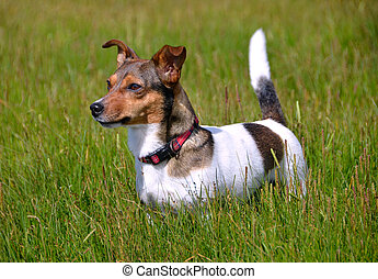 Jack Russell Terrier Standing in the grass field - Cute...
