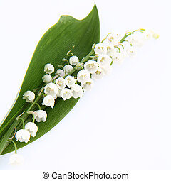 Lily of the valley flowers with a leaf on white background...