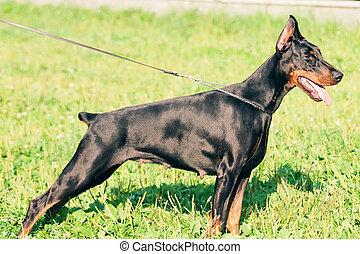 exterior of dobermann dog